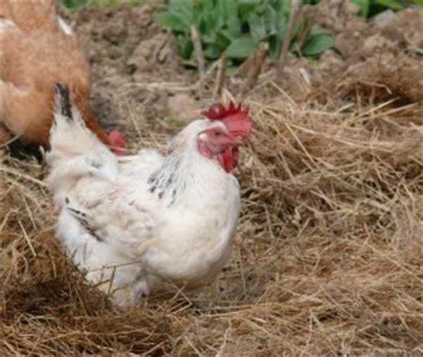 si鑒e auto 2 ans et demi quelle est la durée de vie d 39 une poule