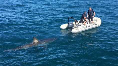 curious great white shark flirts  police boat