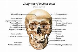 Human Skull Diagram Stock Photo