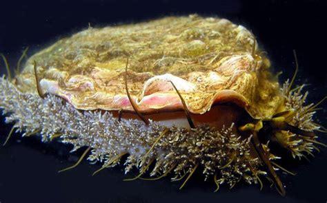 abalone species  oceans aquarium cape town south