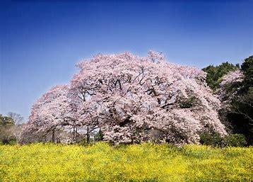 桜 写真 に対する画像結果