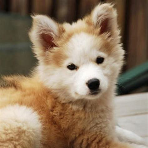 non shedding husky cross 80 best dogs that don t shed images on animals