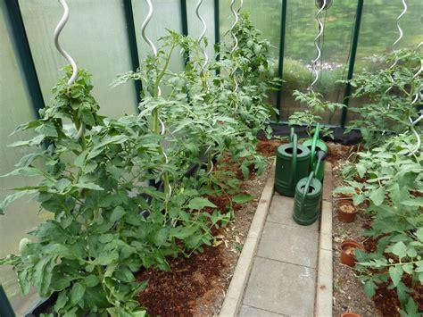 gurken und tomaten im gewächshaus tomaten im gew 228 chshaus schmiddies gartenblog