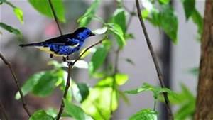 Oiseau Jaune Et Bleu : oiseau plaintif de coucou image stock image du nature 23698617 ~ Melissatoandfro.com Idées de Décoration