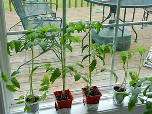 Caring For Tomato Plants In The Home Garden  Picture Guide