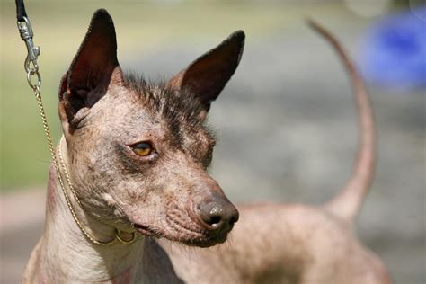 That Mexican Hairless Dog From 'Coco' Is a Cool Breed, But ...