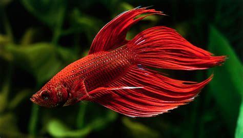how do beta fish live betta fish betta fish tanks food and more petsmart natgeo