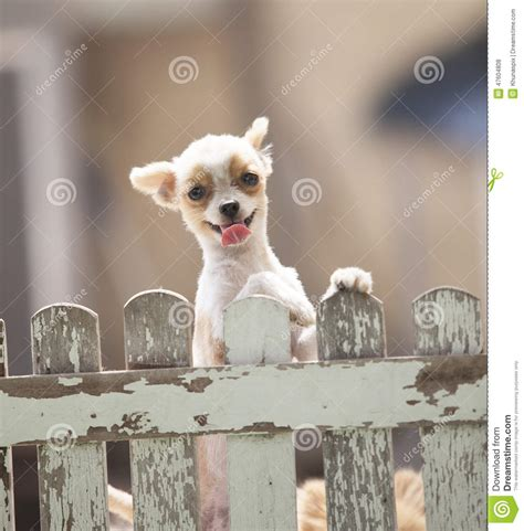 funny face  pomeranian dog climbing wooden fence  home