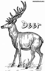 Deer Coloring Pages Realistic Print Animal sketch template