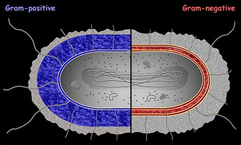 Interactive Bacteria Model