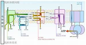 File Electron Transport Chain Zh Ml Svg