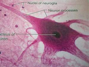Histology of Nervous Tissue Flashcards | Easy Notecards