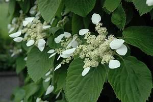 Japanese Hydrangea Vine Schizophragma Hydrangeoides In