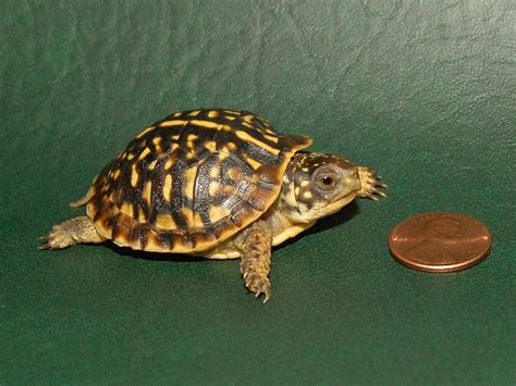 Heat Ls For Box Turtles by Ornate Box Turtles Small For Sale From The Turtle Source