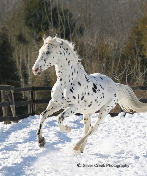 horse stallion appaloosa leopard brown stallions he mir accepting rider rp creek barn cold his stubborn typical headed personality