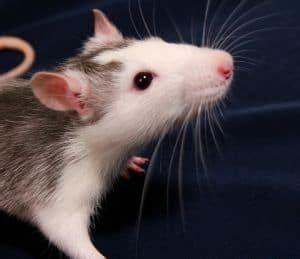 hausmittel gegen ratten ratten bek 228 mpfen hausmittel gegen ratten im haus rats