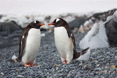group  penguins  stock photo