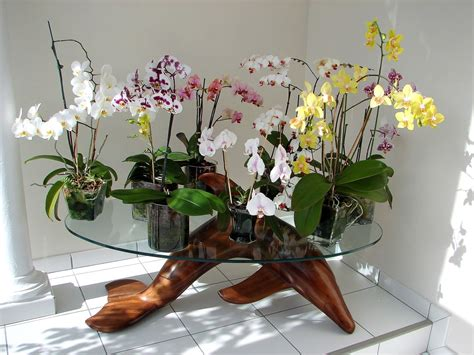 pour moi la plus table d orchid 233 es phaleanopsis r 233 a invent 233 la culture en pot de