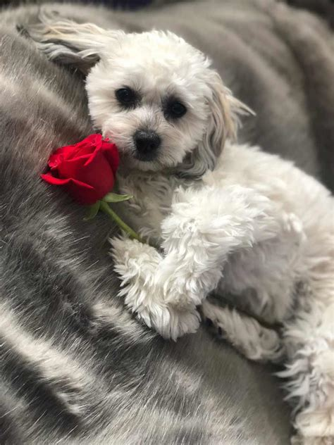 bailey  shih tzu bichon mix