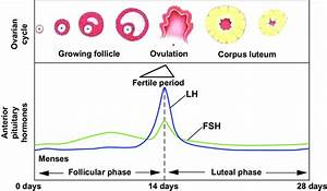 Diagram Of Hormonal Fluctations In The Menstrual Cycle