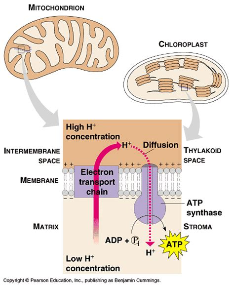 Science Visualized • The Electron Transport Chain Is Virtually