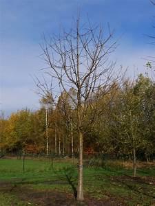 Prunus Avium  U0026 39 Varikse Zwarte U0026 39