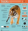 Siberian Tiger Quest ~ Infographic: All About Tigers ...