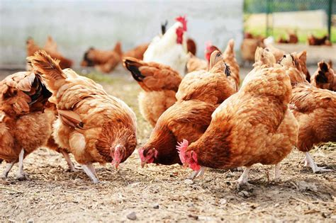 chicken farm how to start lucrative poultry farming in nigeria best guide