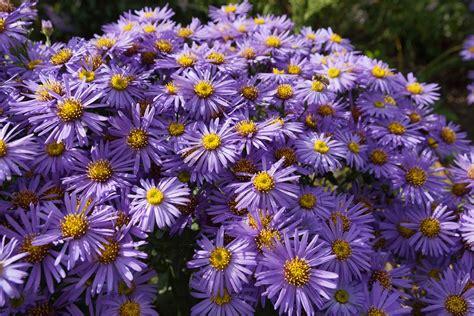 Astern Pflanzen Und Pflegen astern aster herbstaster pflege anleitung
