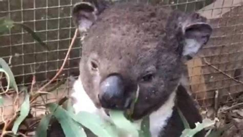 tragic   bernie  koala   rescued