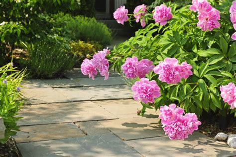 growing peony flowers peony care tips to grow healthy peonies new england today