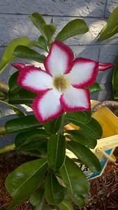 Desert rose plant flower | Tattoos I Want | Pinterest