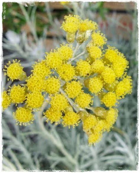 elicriso fiori accademia delle erbe spontanee elicrisio la pianta
