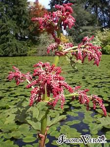 Rheum Palmatum Floravera