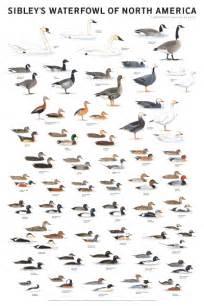 North American Duck Species Identification