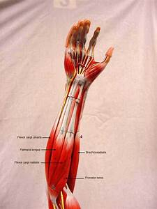 Anatomy- Muscle Actions
