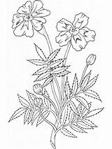 Coloring Flower Pages Marigold Flowers Printable Marigolds Mycoloring sketch template
