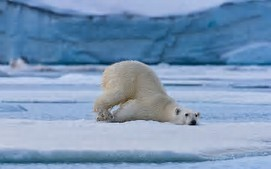 Résultat d'images pour ours blancs sur la banquise