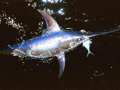 sailfish fish swordfish meanest practical ocean otlibrary