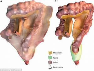 Experts Discover A Brand New Organ In The Human Digestive System