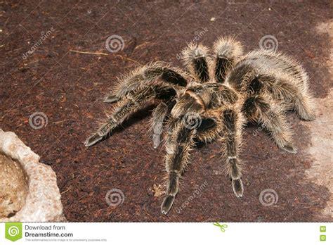 Black Velvet Tarantula Stock Images