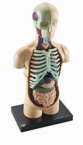 Human Body Model Set