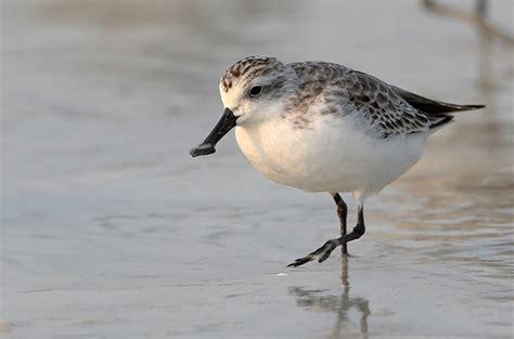 birds korea key species spoon billed sandpiper