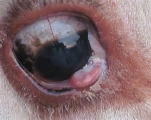 EYE CANCER IN CATTLE - Bovine Ocular Squamous Cell Carcinoma (BOSCC ... Eye Cancer