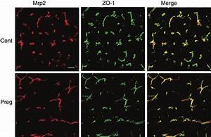 Immunofluorescence Analysis Of Mrp2 Localization By