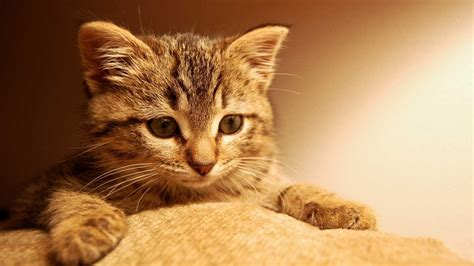 Cute Kitty Background Wallpaper Widescreen And Hd
