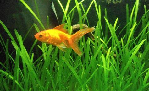 was fressen goldfische goldfische im aquarium halten aquarium fische pflanzen de