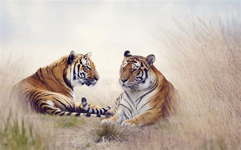 Tiger Wallpapers Photos Desktop Backgrounds