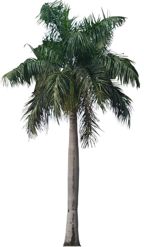 tropical plant pictures roystonea regia royal palm