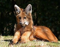 Asian red fox